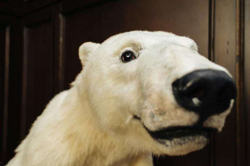 Big white bear looks at camera. Close-up portrait of white bear on wide lens royalty free stock image