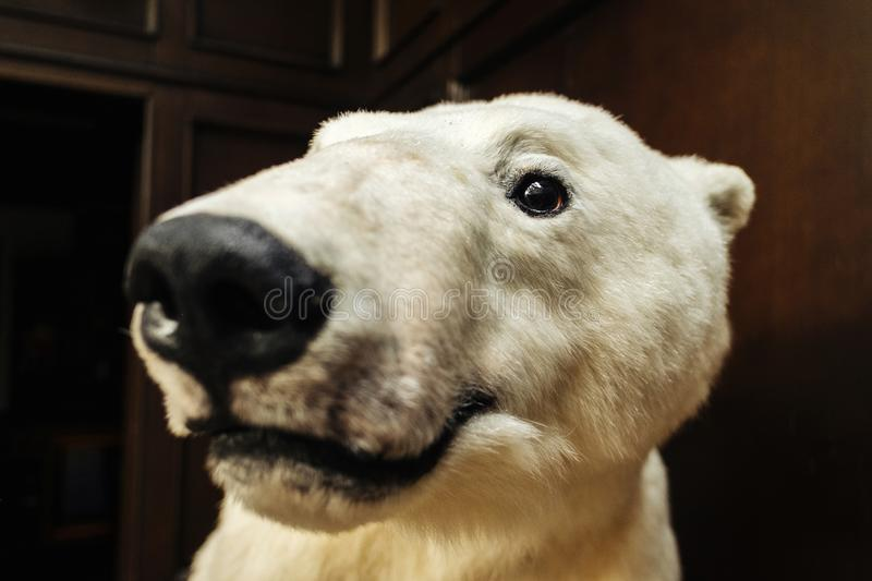 Big white bear looks at camera. Close-up portrait of white bear on wide lens royalty free stock photo