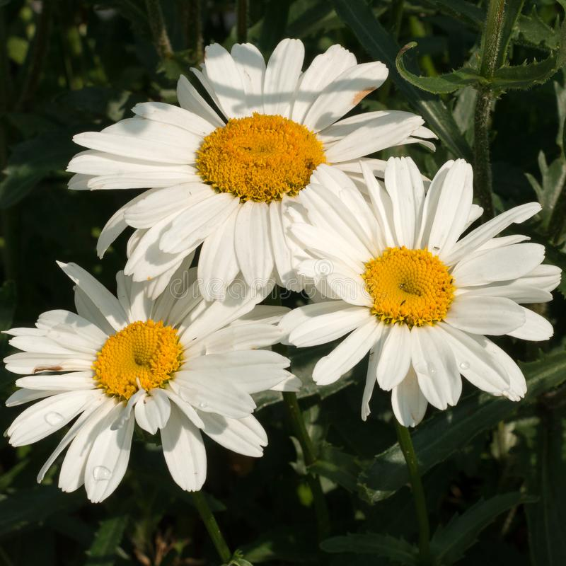 Big white daisies under the bright summer sun stock photo