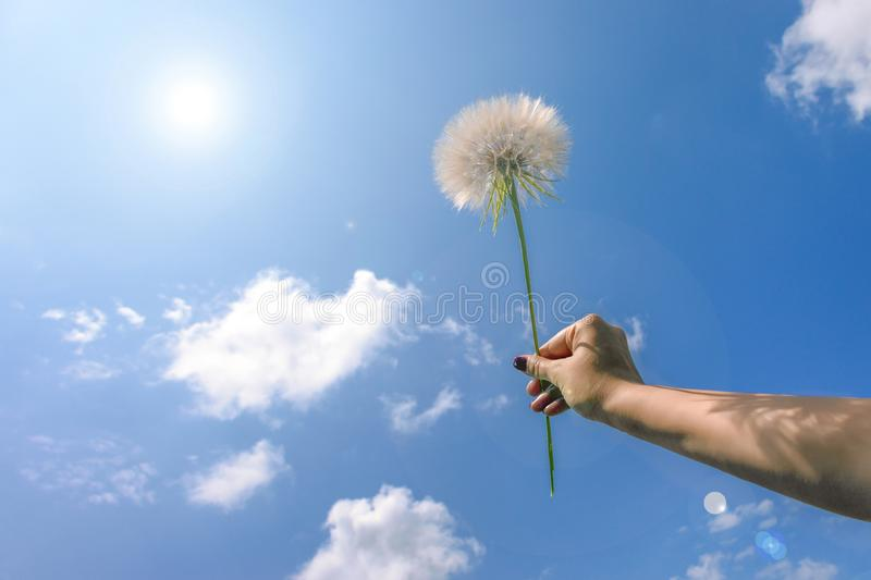 Big white dandelion in hand. Against the blue sky, sunny summer day concept stock photography