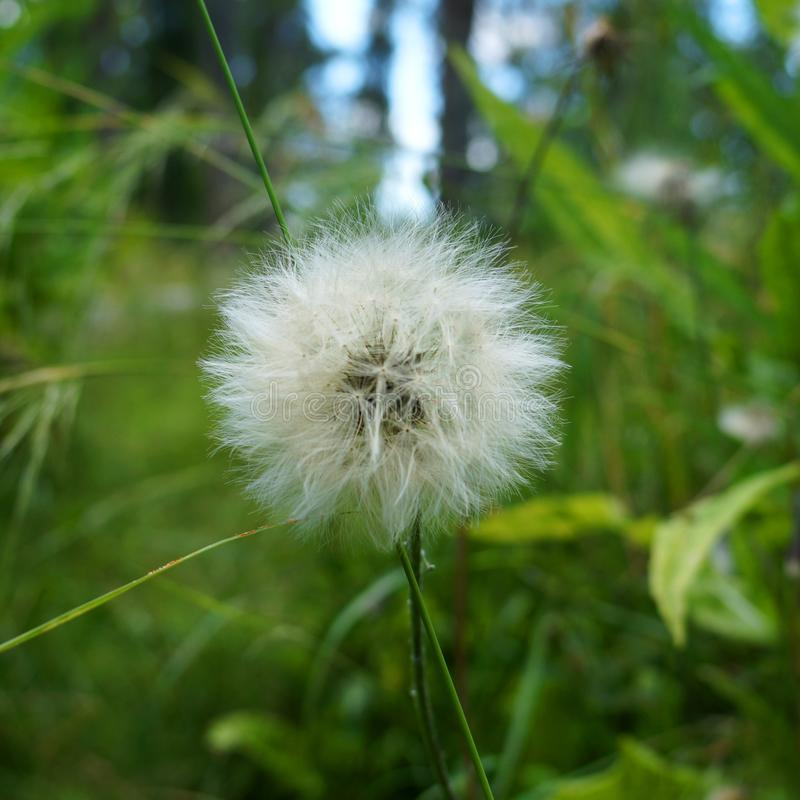 Big dandelion in a forest. Big white dandelion plant surrounded by green generic vegetation. Dandelion in focus, background is a green combo of generic royalty free stock photo
