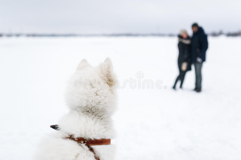 The big white dog watches the loving couple in winter day. stock photo