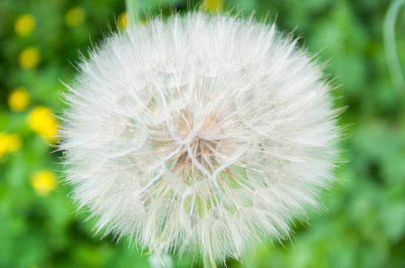Big white and fluffy dandelion grows in the summer on the lawn against the background. Of green grass royalty free stock images