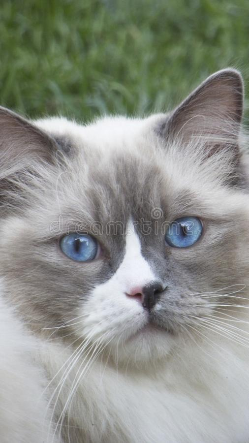 Ragdoll Cat with blue eyes stock photo