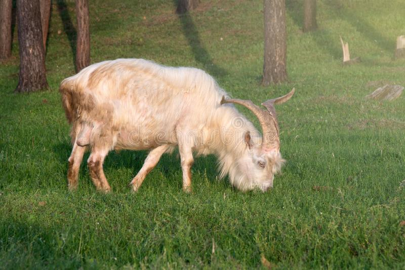A big white goat with huge horns eats grass among the trees. Goat - a profitable business. This is meat, milk, wool and fluff royalty free stock photography