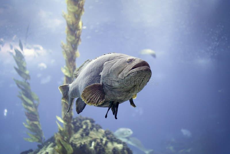 Big white grouper stock photo