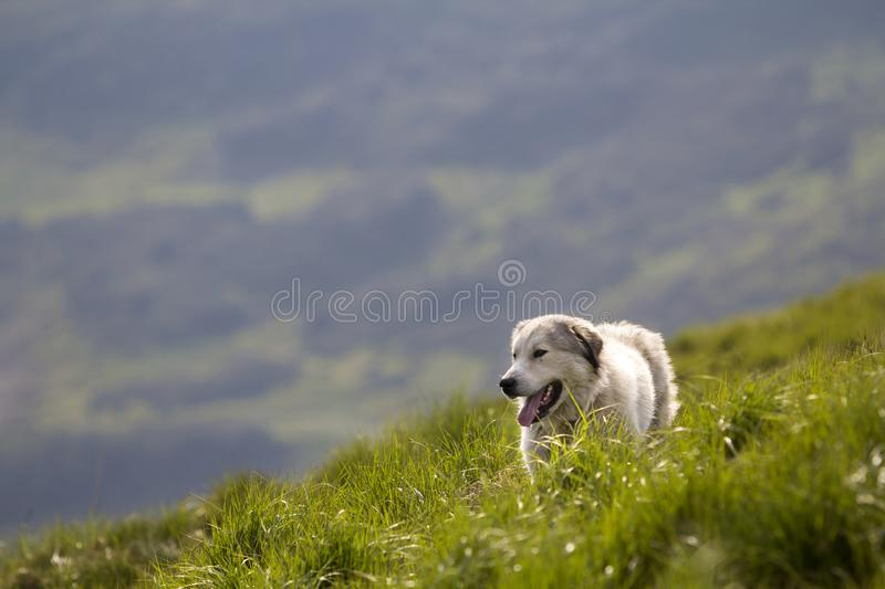 Big white grown clever shepherd dog standing on steep green grassy mountain slope on sunny summer day on copy space background of. Wide panorama of dark green royalty free stock photography