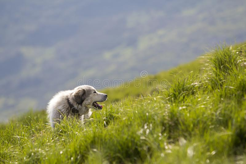 Big white grown clever shepherd dog standing on steep green grassy mountain slope on sunny summer day on copy space background of. Wide panorama of dark green stock images