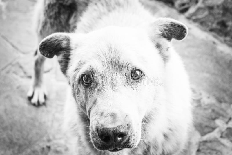 Big white hungry homeless dog with sad eyes. Black white portrait of unhappy stray dog. The concept of a shelter for animals, car stock images