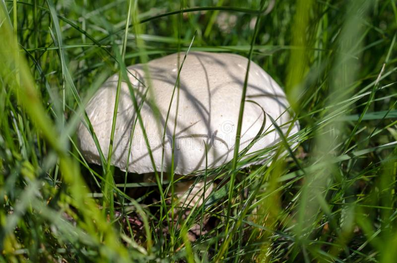 Big white mushroom in the grass. Closeup royalty free stock photography