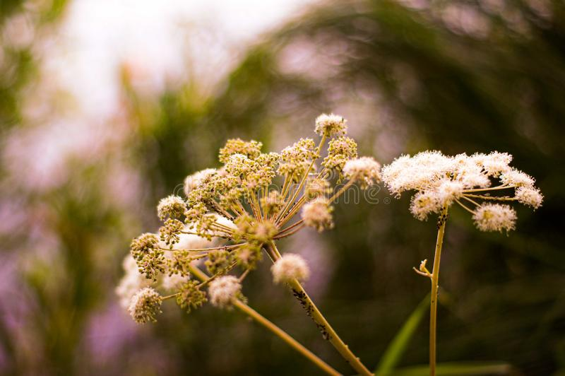 Wild angelica herb covered with aphids. stock image