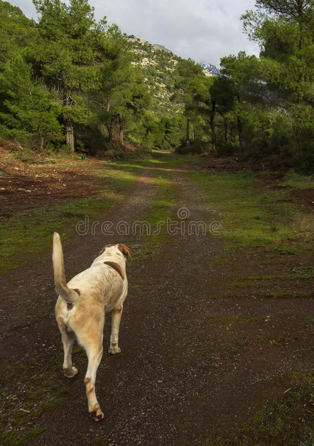 A big white-red dog walks on a sunny winter day through the woods and mountains on the Greek island of Evia, Greece royalty free stock photography