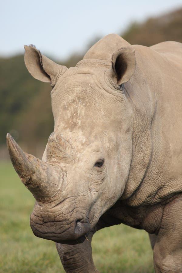 Big white rhino royalty free stock image
