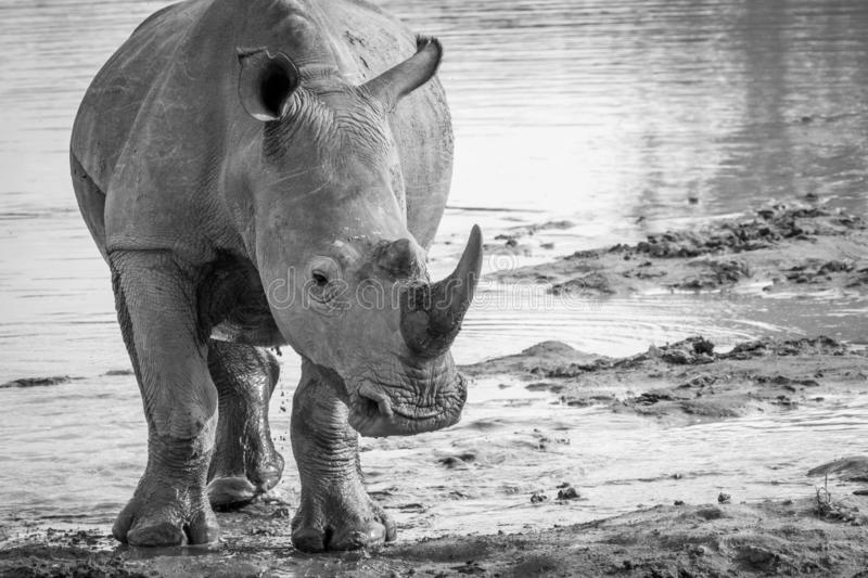 Big White rhino starring at the camera. In black and white, South Africa royalty free stock image