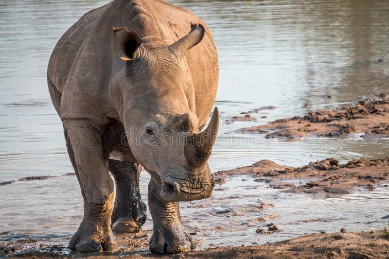 Big White rhino starring at the camera. South Africa royalty free stock photography