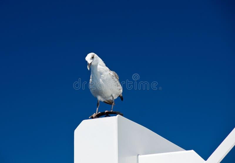 Big White Seagull On Blue Sky Background Stock Photos