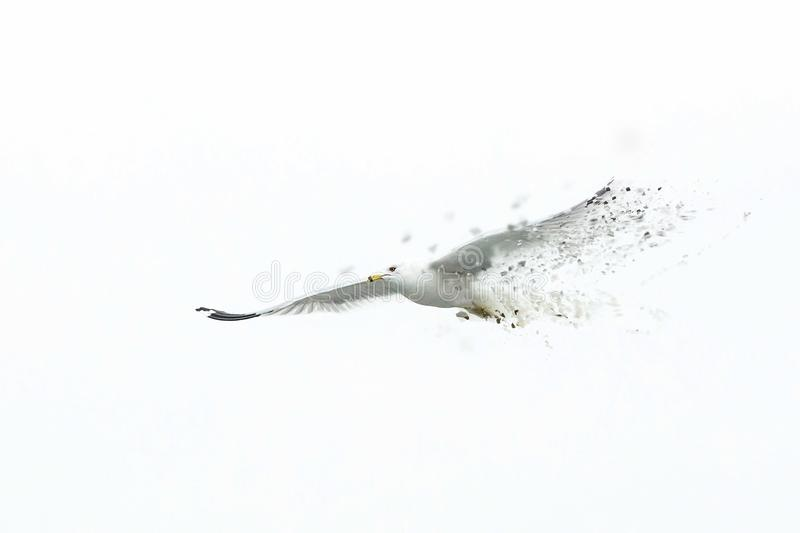 Big white seagull flying solo alone disappearing royalty free stock images