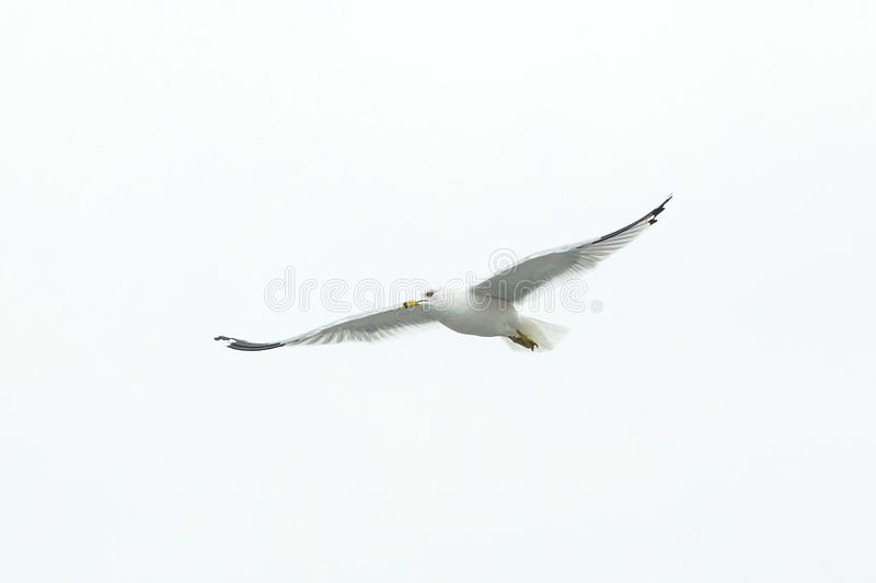 Big white seagull flying solo alone stock photos