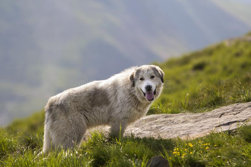 Big white shaggy grown clever shepherd dog standing alone on steep green grassy rocky mountain slope on sunny summer day on copy. Big white shaggy grown clever stock photos