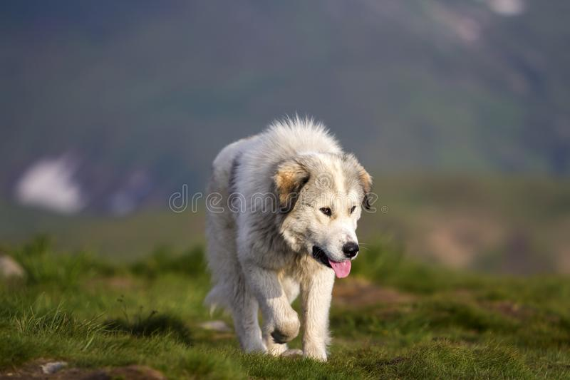 Big white shaggy grown clever shepherd dog walking alone on steep green grassy rocky mountain meadow on sunny summer day on copy. Space background of dark blue stock photography