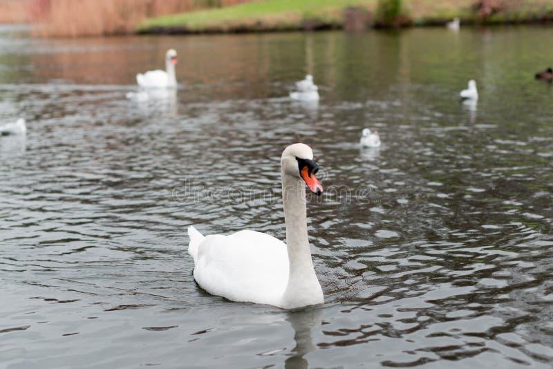 A big white swan royalty free stock photo