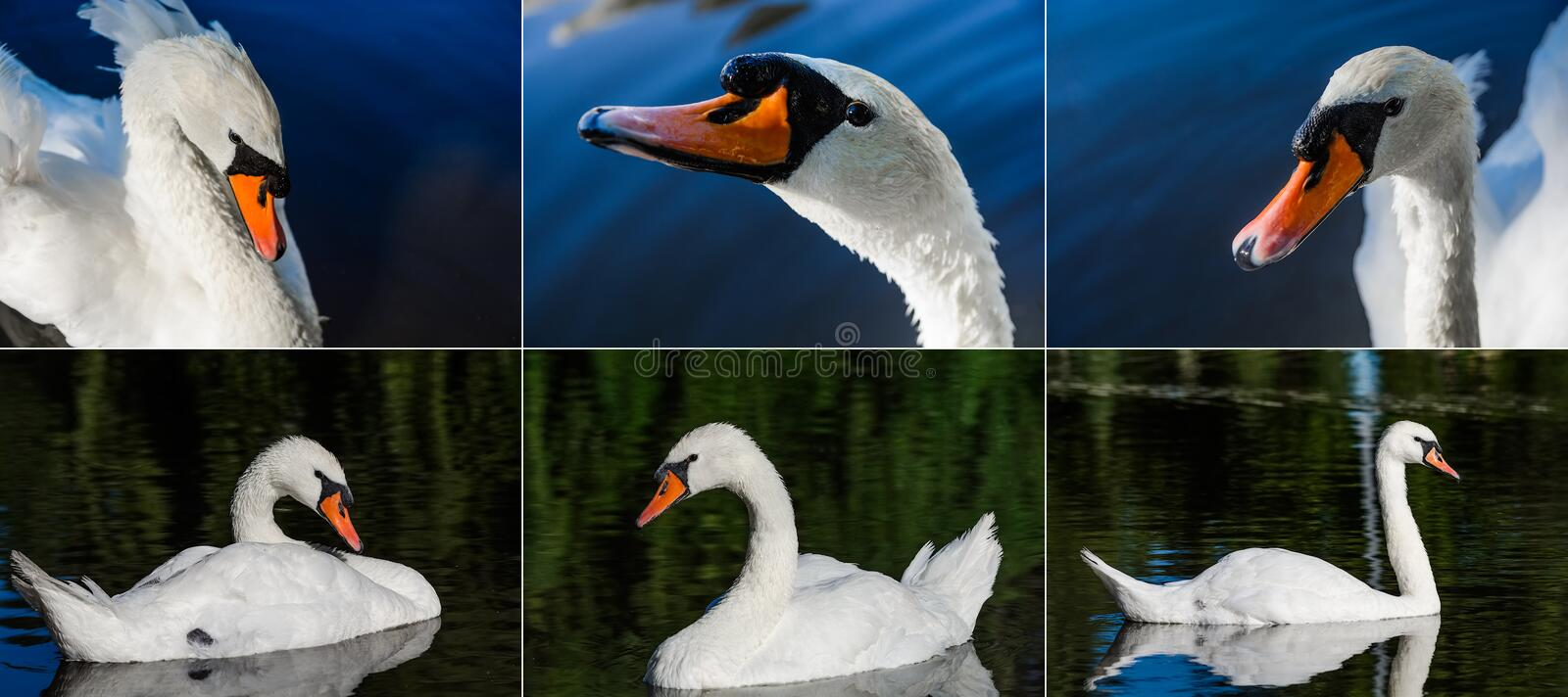 Big white swan swims on the surface of lake royalty free stock photo