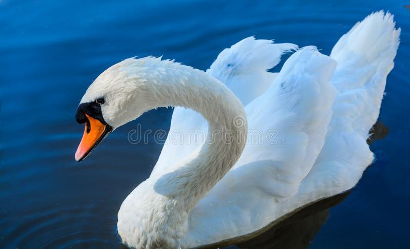 Big white swan swims on the surface of lake stock photo