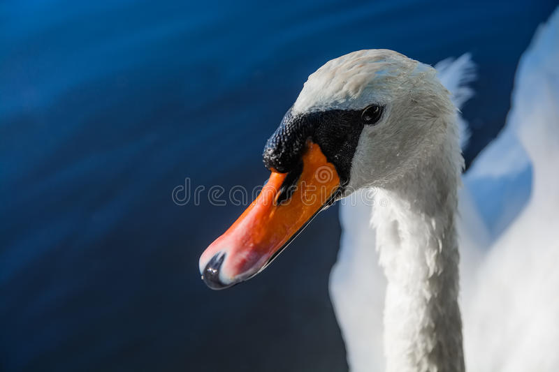 Big white swan swims on the surface of lake. At the sunny morning stock images
