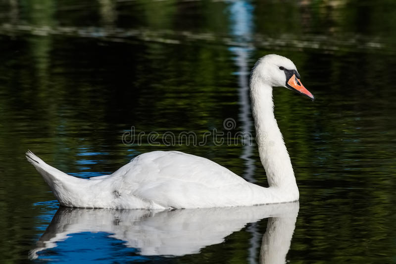 Big white swan swims on the surface of lake. At the sunny morning royalty free stock photos