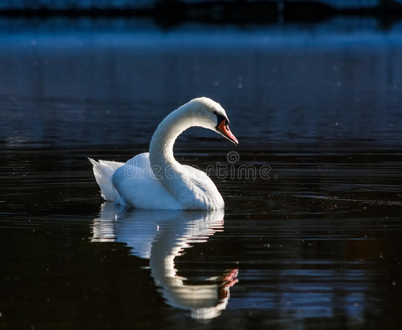 Big white swan swims on the surface of lake. At the sunny morning stock photo