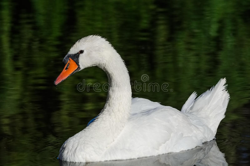 Big white swan swims on the surface of lake. At the sunny morning royalty free stock photography