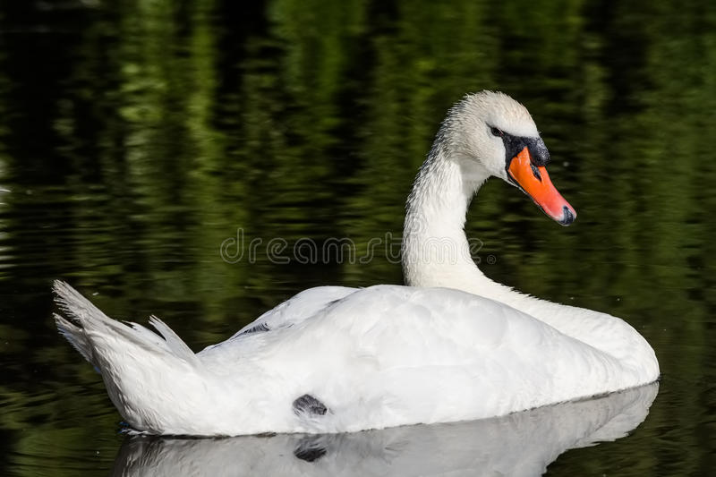 Big white swan swims on the surface of lake. At the sunny morning royalty free stock photo