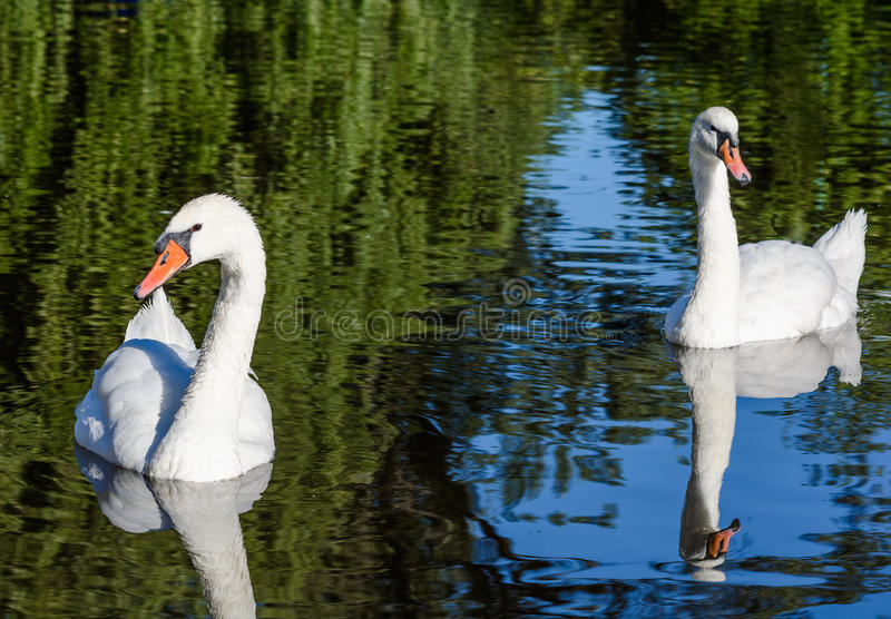 Big white swan swims on the surface of lake. At the sunny morning royalty free stock images