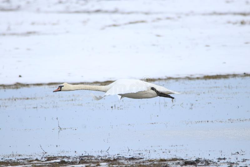 Big white swan taking off for flight stock photography