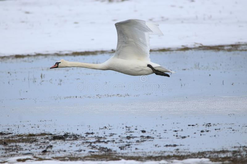 Big white swan taking off for flight stock photo