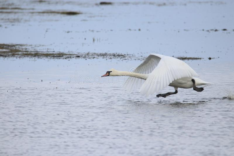 Big white swan taking off for flight while running on water royalty free stock images