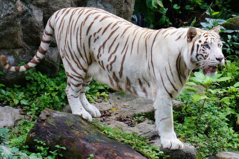 White tiger. Big White Tiger at Singapore Zoo royalty free stock photos