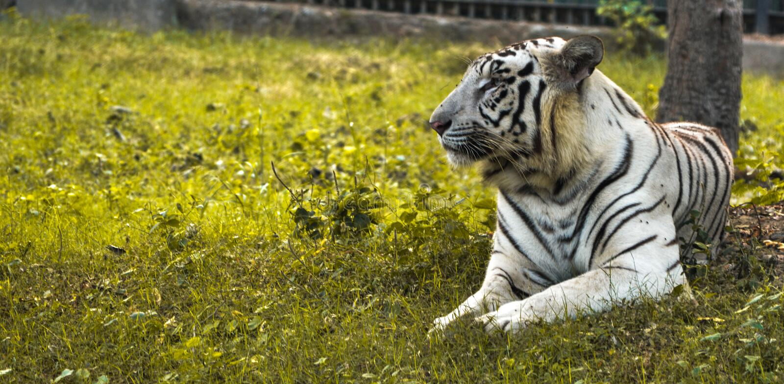 Big White tiger sitting on yellow grasses in a zoo. Indian white tiger sitting on yellowish green grasses looking at audience in the zoo. National zoological stock photo