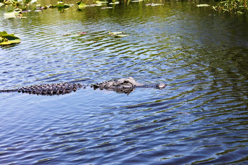 Big wild alligator swims in the lake at sunny day. Crocodile. In the water stock photography