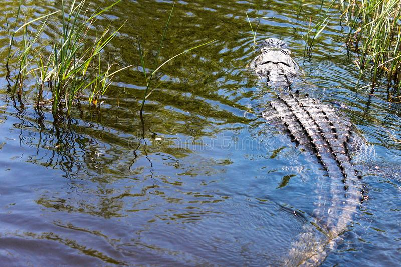 Big wild alligator swims in the lake at sunny day. Crocodile. In the water stock image