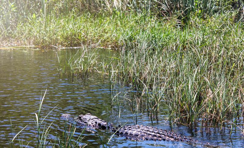 Big wild alligator swims in the lake at sunny day. Crocodile. In the water royalty free stock photography