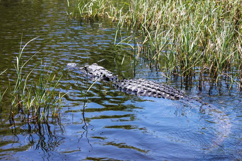 Big wild alligator swims in the lake at sunny day. Crocodile. In the water royalty free stock photo