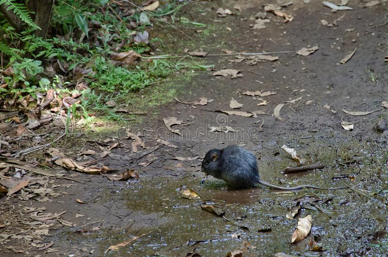 Big and wild black rat in natural environment royalty free stock photography