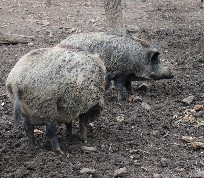 A big wild-boars royalty free stock photos