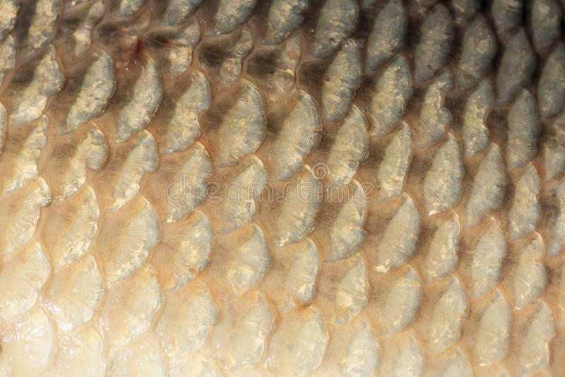 Big wild carp fish pattern textured skin scales macro view. Photo golden scaly textured pattern. Selective focus, shallow depth field royalty free stock photo