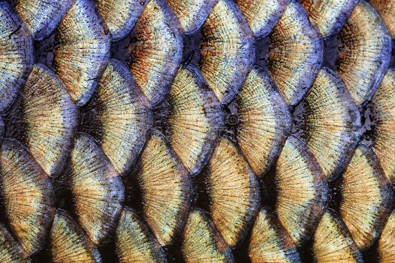 Big wild carp fish pattern textured skin scales macro view. Photo golden scaly textured pattern. Selective focus. Big wild carp fish textured skin scales macro stock photos