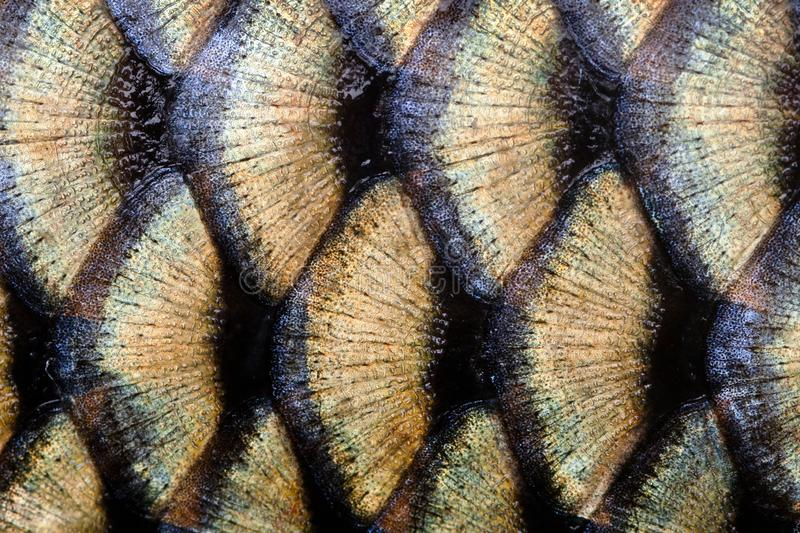 Big wild carp fish textured skin scales macro view. Photo golden scaly textured pattern. Selective focus, shallow depth. Field stock image