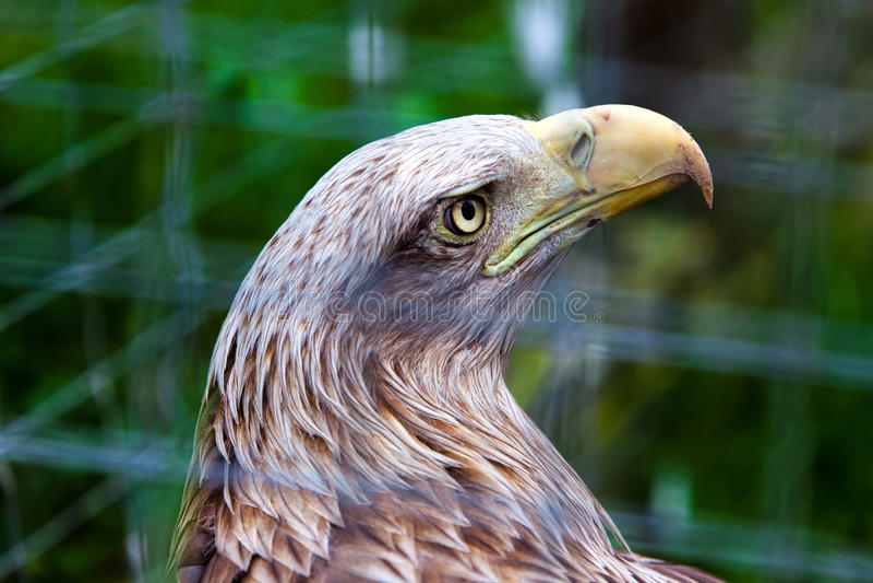 Big wild hawk-falcon in cage stock image