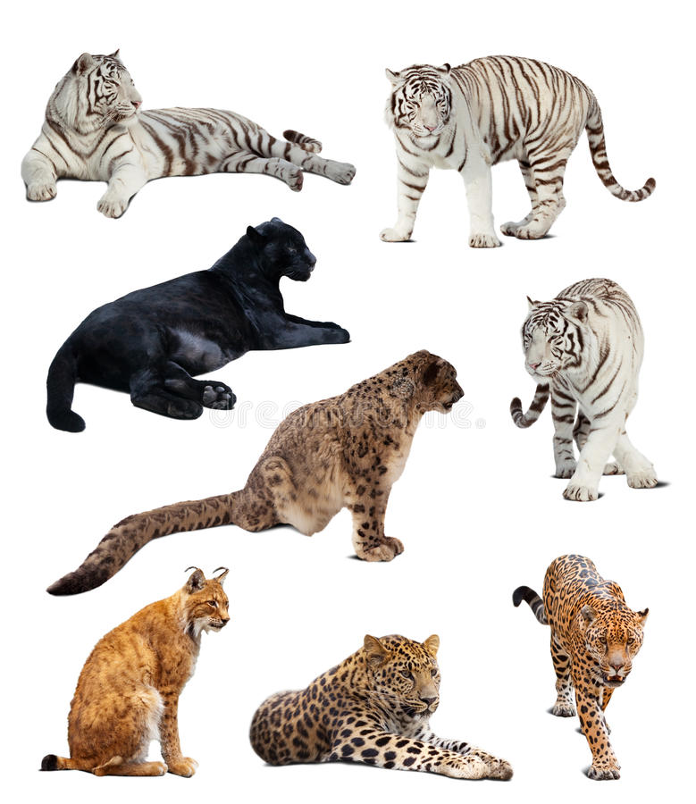 Big Wildcats Over White Stock Images
