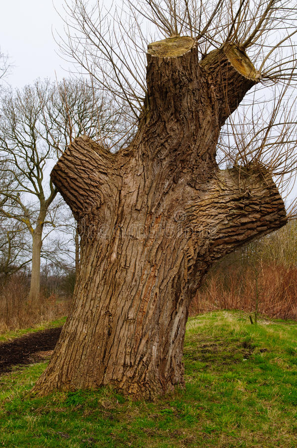 Big willow tree. Old big willow tree waiting for the spring royalty free stock photo